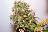 Auto Great White Feminised - BITCOINSEEDSHOP - 3