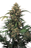 Strawberry Cough Feminised Seeds - BITCOINSEEDSHOP - 3