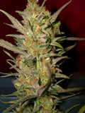 Sweet Haze Regular Seeds - BITCOINSEEDSHOP - 2
