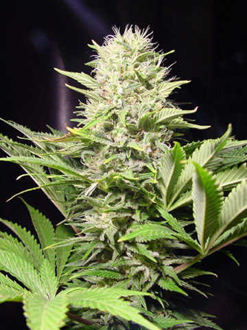 Wappa Feminised Seeds - BITCOINSEEDSHOP - 1