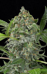White Cheese Automatic Feminised Seeds - BITCOINSEEDSHOP