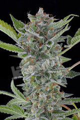 White Widow Automatic Feminised Seeds - BITCOINSEEDSHOP