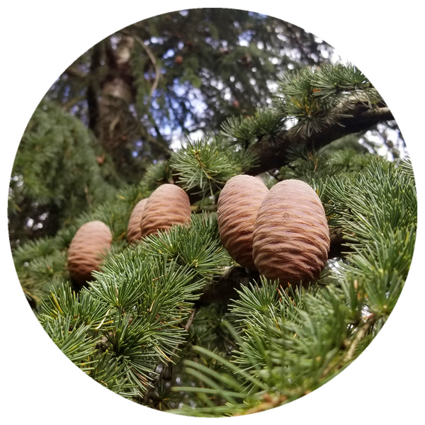Templin Fir Cone (Abies alba) Infused with Resin Essential Oil