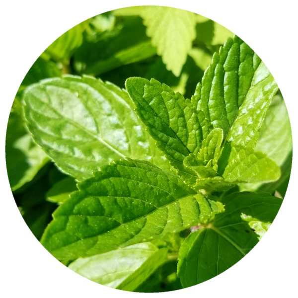 Spearmint (Mentha spicata) Organic Essential Oil
