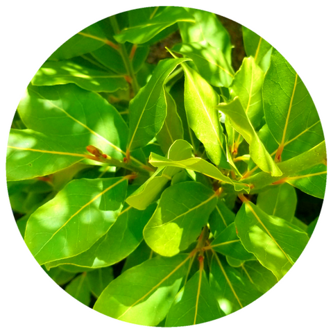 Bay Laurel (Laurus nobili) Organic Essential Oil