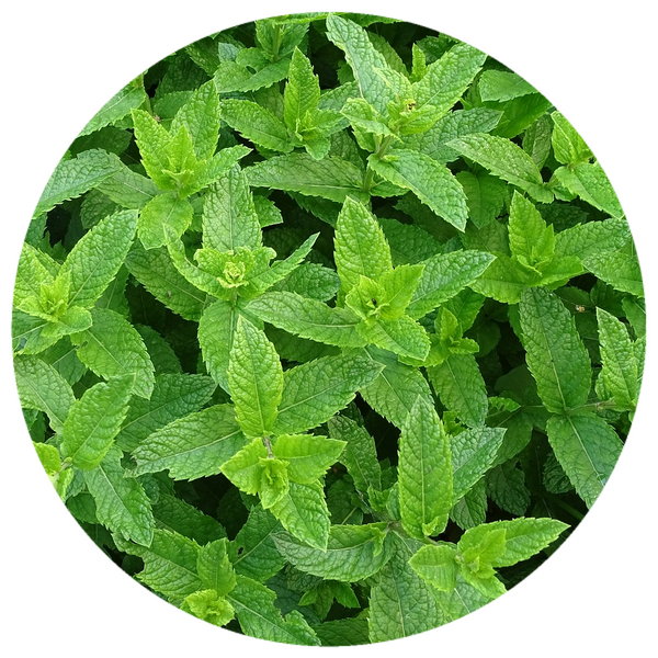 Willamette Peppermint (Mentha piperita) Organic Essential Oil