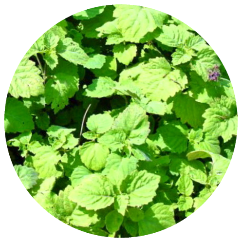 Patchouli (Pogostemon cablin) Double Distilled Essential Oil