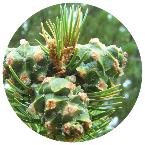 Pine, Pinon Pinecone (Pinus edulis) Infused with Resin Essential Oil