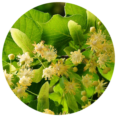 Linden Blossom (Tilia cordata) Organic CO2 Total Extract