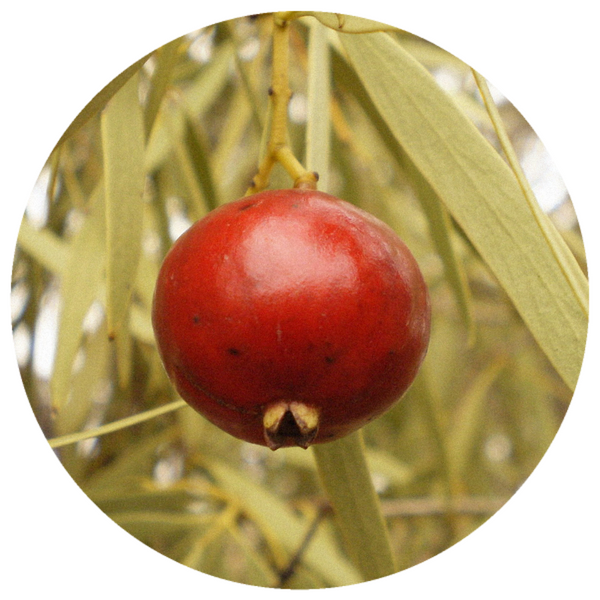Sandalwood, Nut Oil (Santalum spicatum) Sustainable CO2 Extract
