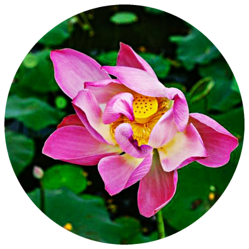 Lotus, Pink (Nelumbo nucifera) Absolute