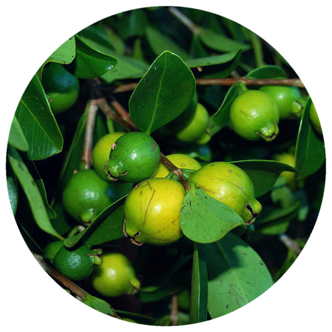 Guava Seed Oil (Psidium guava) Organic Cold Pressed