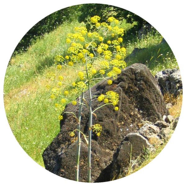 Galbanum (Ferula galbaniflua) Wildcrafted Essential Oil