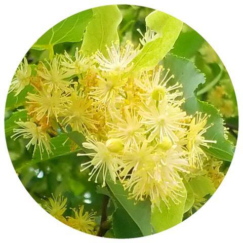 Linden Blossom (Tilia cordata) Rare French Absolute Oil