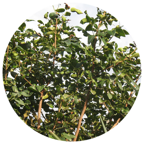 Amyris (Amyris balsamifera) West Indian Sandalwood Essential Oil