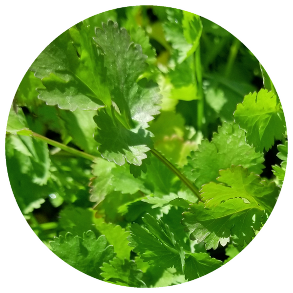 Cilantro (Coriandrum sativum L.) Organic Essential Oil