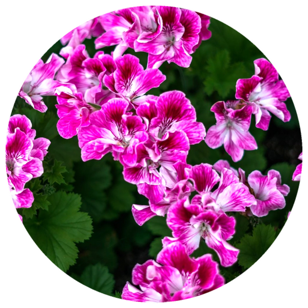 Geranium, Egyptian (Pelargonium graveolens) Essential Oil