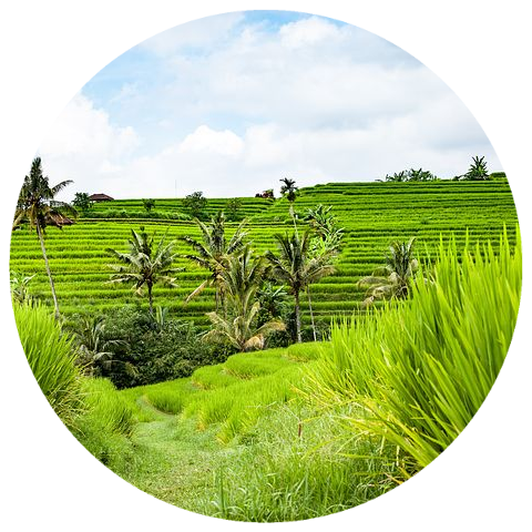 Vetiver (Vetiveria zizaniodes) Indonesia Organic Vintage 2014 Essential Oil