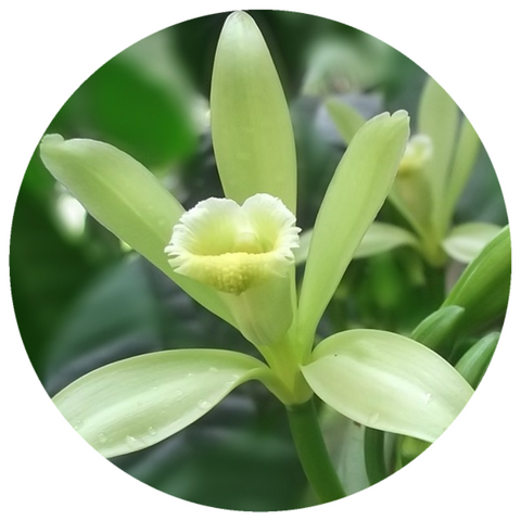 Vanilla, India (Vanilla planifolia) Organic CO2 Extract