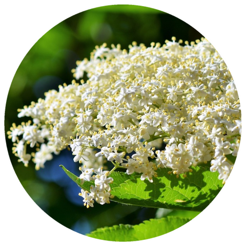Elderflower, French (Sambucus nigra) Absolute