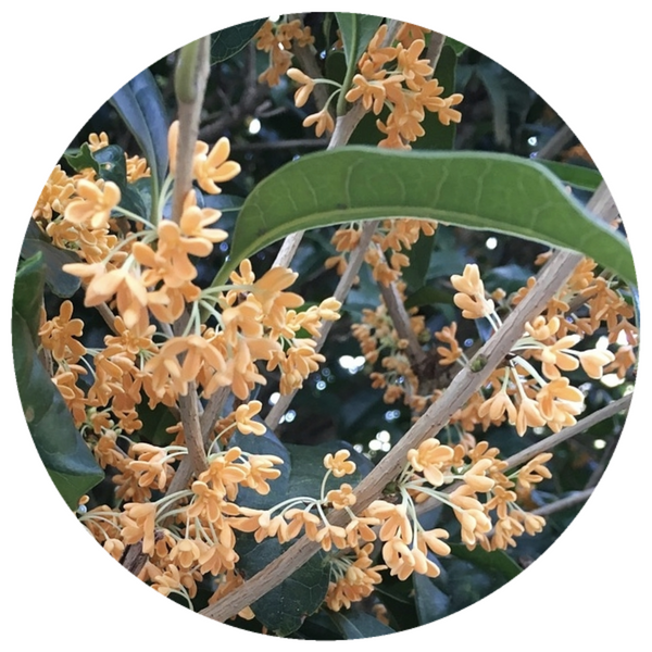 Osmanthus, French (Osmanthus fragrans) Absolute