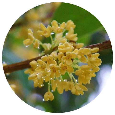 Osmanthus (Osmanthus fragrans) Absolute