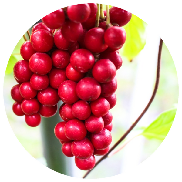 Schizandra Berry (Schisandra chinensis) Organic CO2 Extract