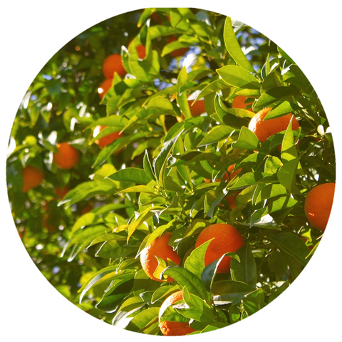 Orange, Sweet (Citrus sinensis) Organic Pressed Essential Oil