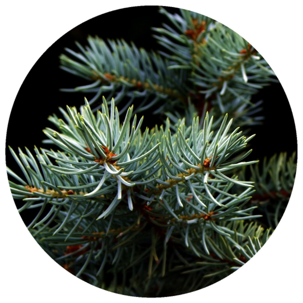 Fir, White (Abies concolor) Christmas Tree Essential Oil