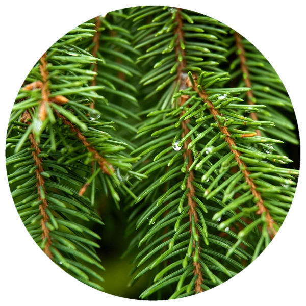 Fir, Silver (Abies alba) Essential Oil