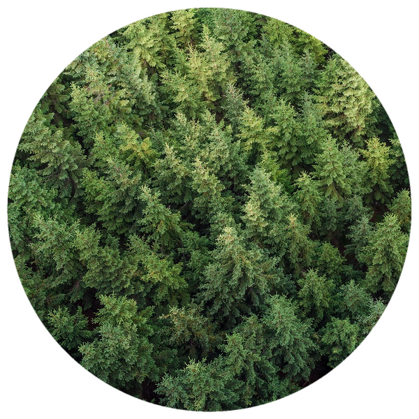 Fir, Balsam (Abies balsamea) Essential Oil