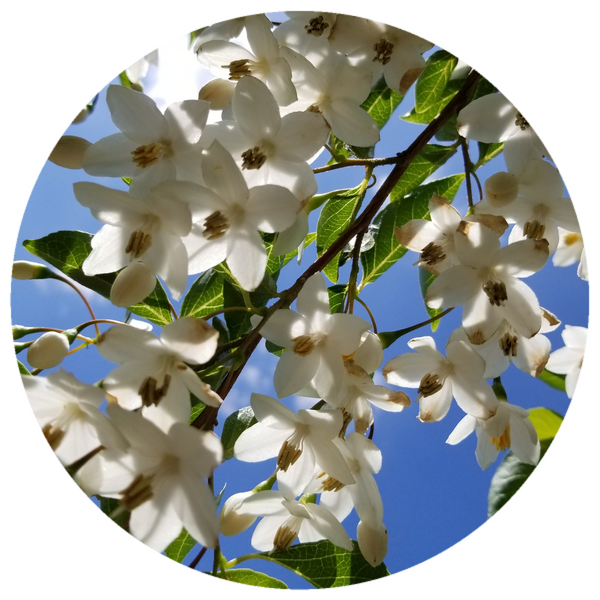 Benzoin (Styrax tonkinensis) Wildcrafted Essential Oil