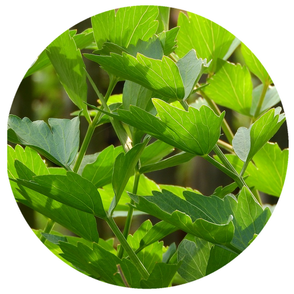 Lovage Root (Levisticum officinale) Absolute