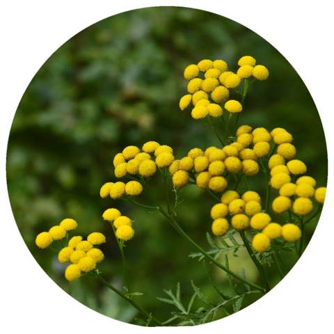 Blue Tansy (Tanacetum annuum) Wildcrafted Essential Oil