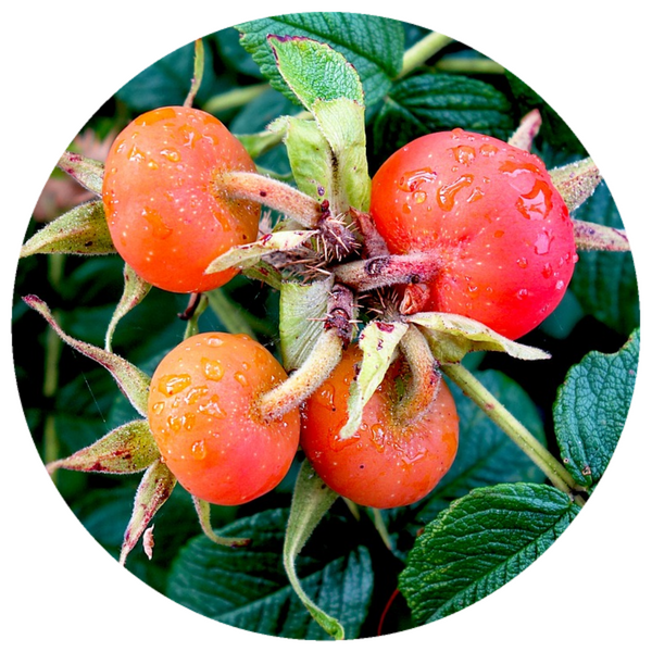 Rosehip Seed Oil (Rosa canina) Organic CO2 Extract