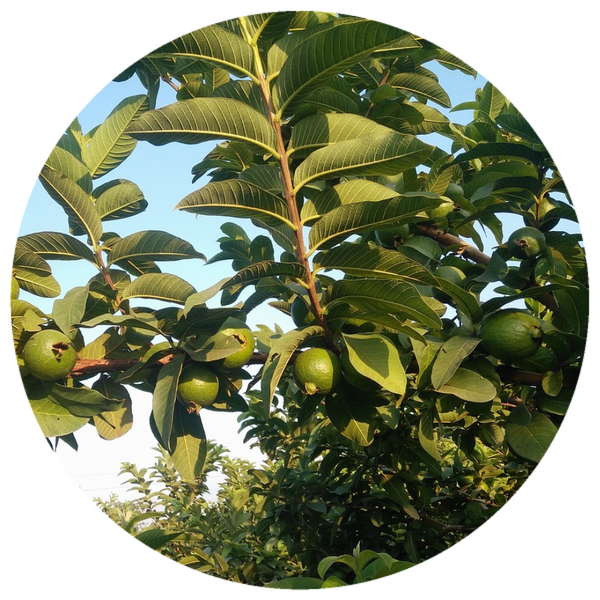 Guava Leaf (Psidium guajava) Organic Essential Oil