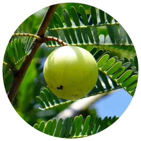 Organic Amla Hair and Body Oil