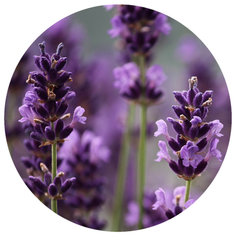 French Lavender (Lavandula angustifolia) Absolute