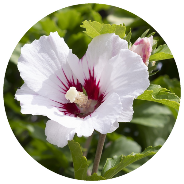 Ambrette CO2 Extract (Hibiscus abelmoschus) Musk Mallow Seed Fine Select CO2 Extract India