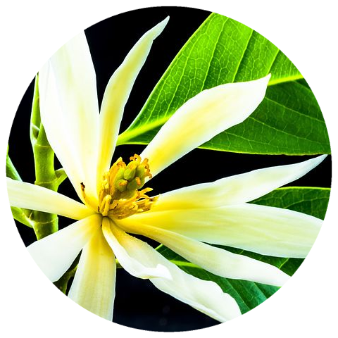 White Champaca Flower (Michelia alba) Wildcrafted Essential Oil