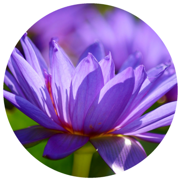 Blue Lotus, Thailand (Nymphaea caerulea) Oil Absolute Organic