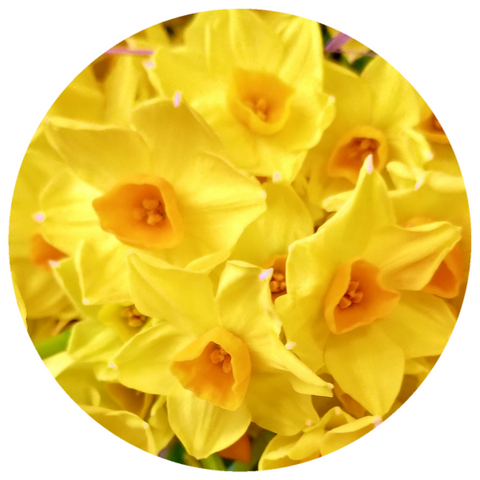 Jonquil, French (Narcissus jonquilla) Rare Absolute