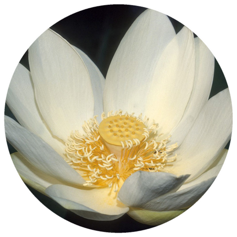 Lotus, White (Nelumbo nucifera) Absolute