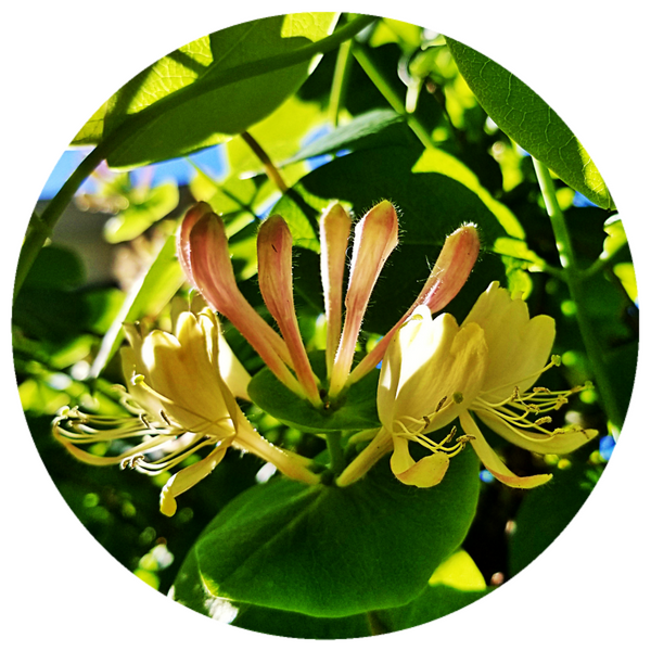Honeysuckle (Lonicera caprifolium) Rare Absolute