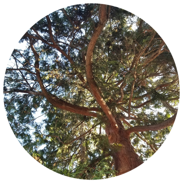 Cedarwood, Himalyan (Cedrus deodora) Wildcrafted Essential Oil