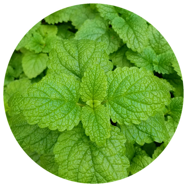 Melissa (Melissa officinalis) Organic Lemon Balm Essential Oil