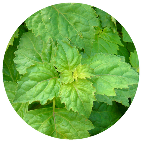 Patchouli, (Pogostemon cablin) India Aged Vintage 2011 Essential Oil