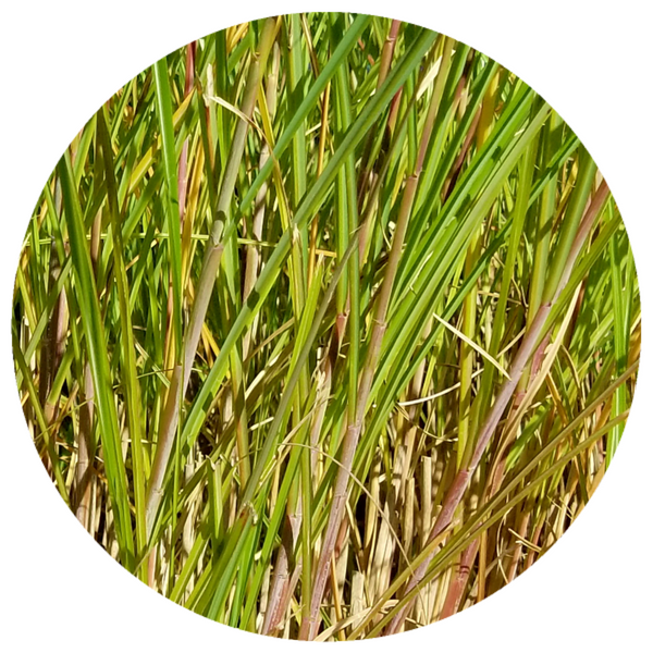 Vetiver (Vetiveria zizaniodes) Organic Essential Oil