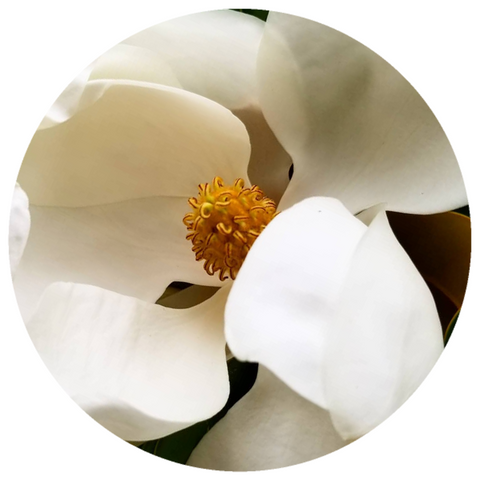 Magnolia Flower (Magnolia grandiflora) Wildcrafted Essential Oil