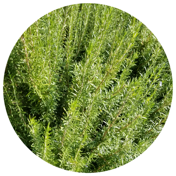Rosemary (Rosemarinus officinalis) Organic CO2 Antioxidant Undiluted